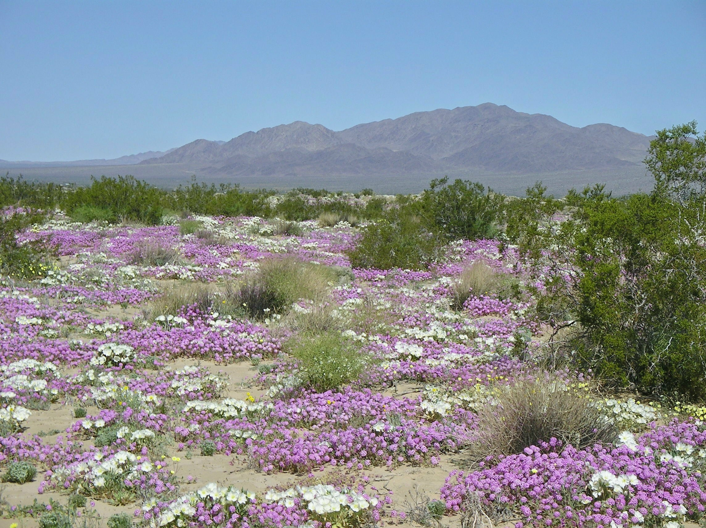 Arizona Desert Flowers Southwestdesertlover