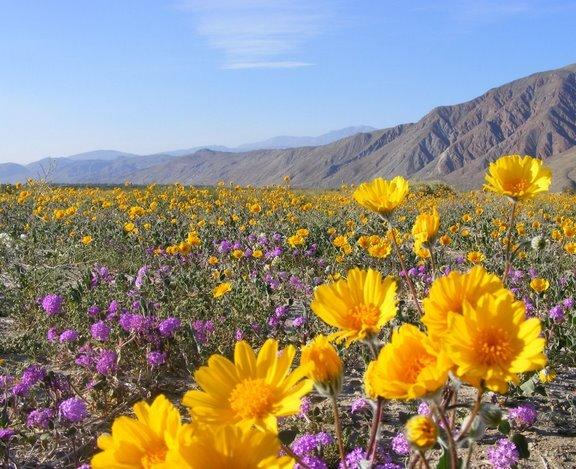 California Desert Flowers Southwestdesertlover