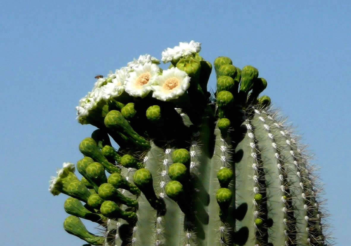 Desert Wildflowers Southwestdesertlover