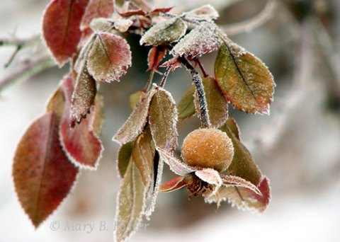 Frosted Rose Hip Winter Photography 7x5 rust brown, olive green, gray, botanical nature photo, woodland rustic home decor