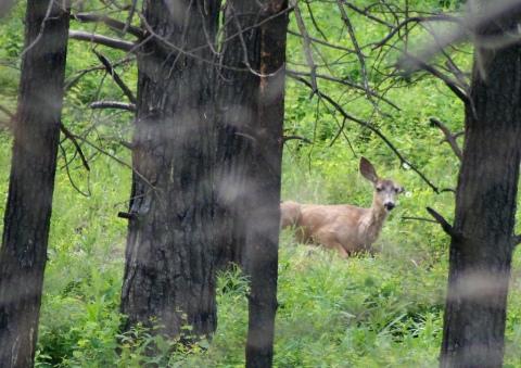 Mule Deer Colville NP