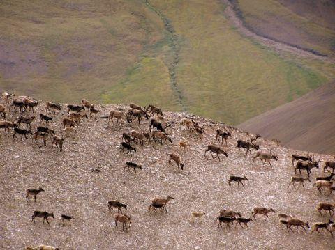 Noatak National Preserve Caribou