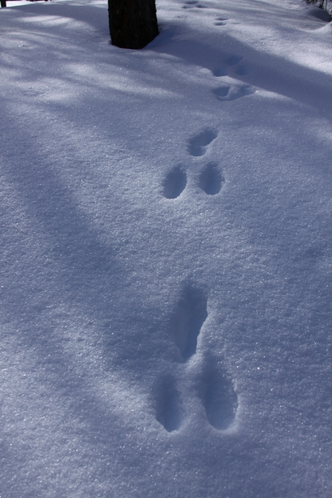 Uinta Mountains Snowshoe Hare Tracks