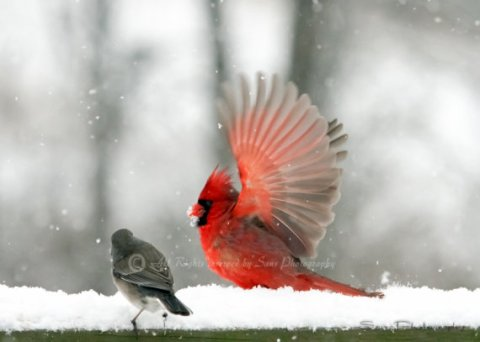 "Bird photography, "" Cardinal & The Junco set"" 2- 5 X 7 prints"