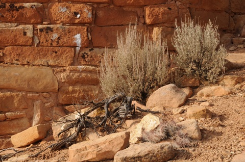 Hovenweep wall sage