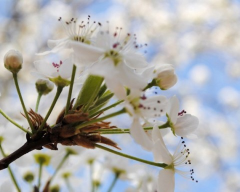 Spring - White Flower Buds - White Flower Blossoms - Bradford Pear Tree - Fine Art Photograph by Kelly Warren