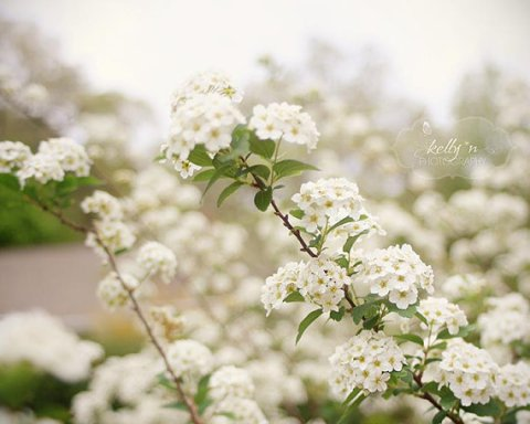 Eversoft- White Spirea Flowers- Nature Photography- Flower Photography- Light, Neutral Tones- 8x10 Fine Art Photograph