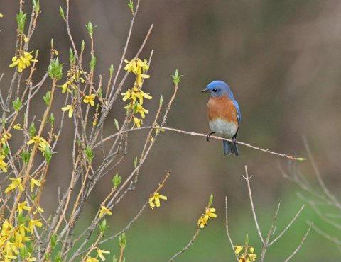 Bluebird Celebrating Spring Notecard