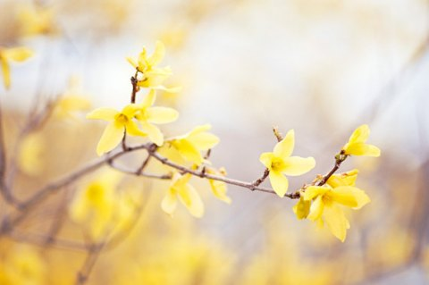 Forsythia Photography - yellow wall art flower floral spring nature photography branch pale botanical branches photo prints, 8x12 Photograph