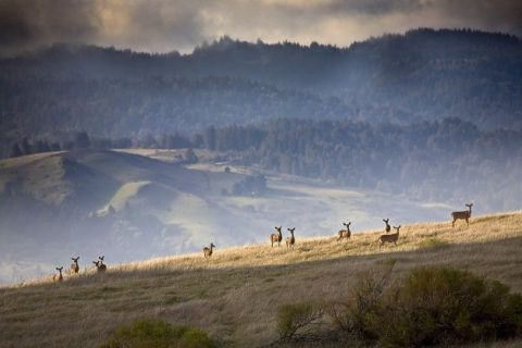 Black-tailed deer gather on a ridge at Monte Bello Open Space Preserve.