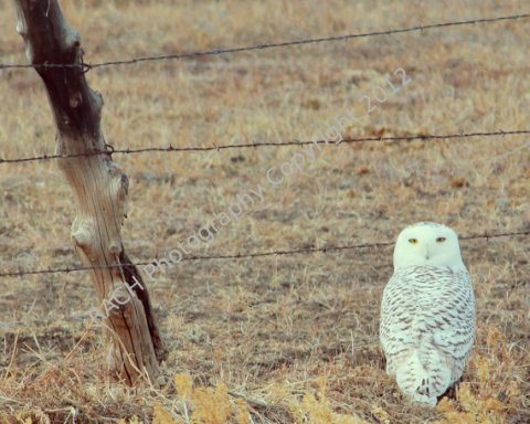 "A Snowy Arctic Owl in the Desert - An Original 8""X10"" Photo Print - Photo by Rachel"