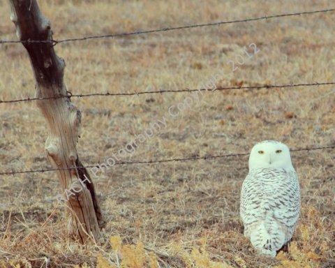 "A Snowy Arctic Owl in the Desert - An Original 8""X10"" Photo Print - Photo by Rachel"