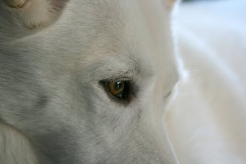 Pensive, 11x14 inch Nature Dog Photograph, White Husky Wolf, Free Shipping