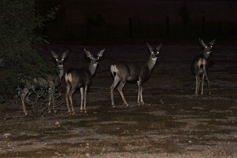 Night Mule Deer