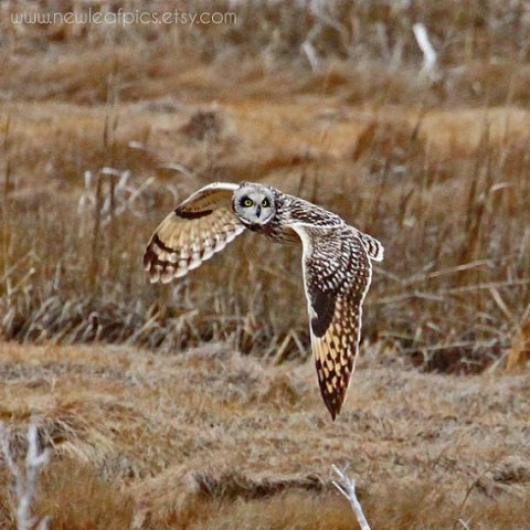 Owl photograph, brown and tan, Owl in flight, bird photography, cabin decor