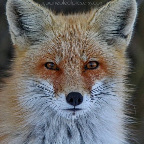 Red Fox photograph, brown and orange animal photo, fine art nature photography