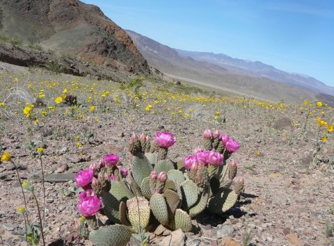 "Beavertail cactus blooming in southern Death Valley, with ""desert gold"" flowers around it."