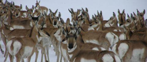 Antelope Modoc