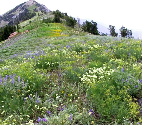 Lupine, buckwheat, lomatiums, and other wildflowers carpet the trail to Ben Lomond Peak on the Wasatch-Cache National Forest