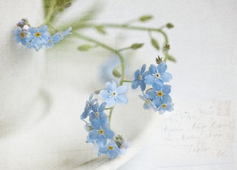Flower picture, soft forget-me-not flowers photograph, flower photography, white, blue, botanical art, flower fine art print