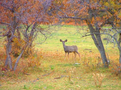 Mule Deer in meadow in Fishlake National Forest
