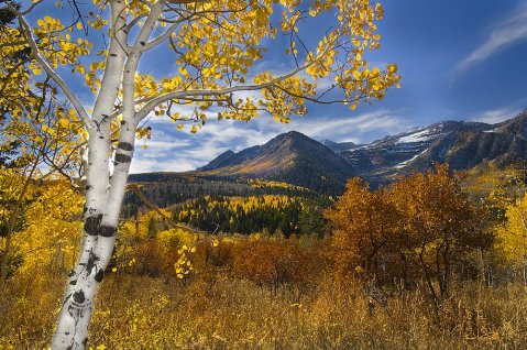 Utah aspen