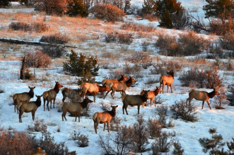 elk-in-snow-700x463-jpg-nm