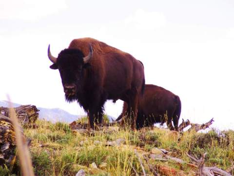 usu-bison-of-utahs-henry-mountains