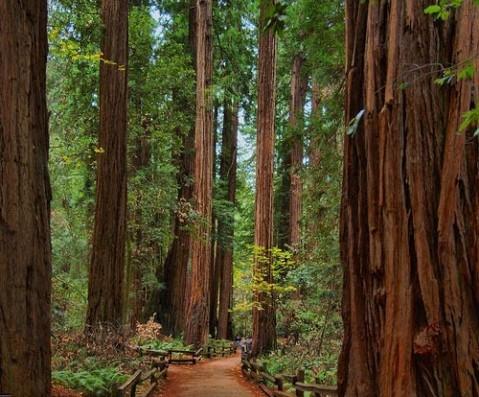 arcata-community-redwood-forest