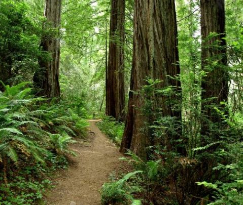 redwood-forest-trail-01-500x422