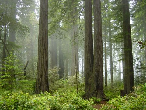redwood_national_park_fog_in_the_forest