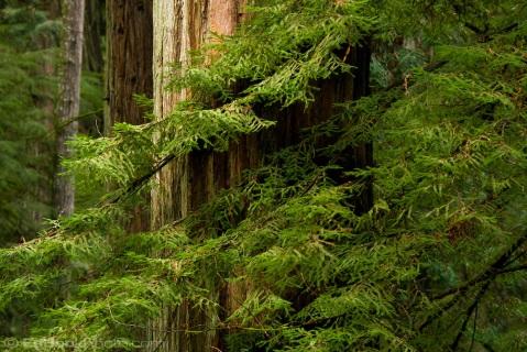 Redwood (Sequoia sempervirens) forest