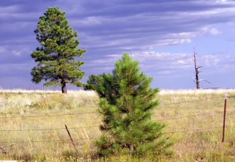 Ponderosa Pines near Flagstaff, AZ