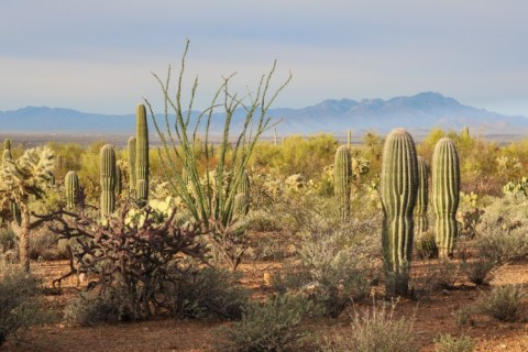 Desert plants in Saguaro National Park, Arizona