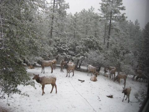 elk feeding in Pine